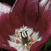 Silver Essence Tulip Art Print