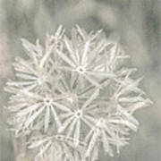Silver Puff Art Print