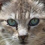 Silver Tabby But What Color Eyes Art Print