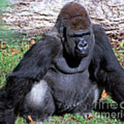 Silverback Western Lowland Gorilla Art Print