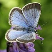 Silvery Blue Butterfly Art Print