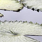 Silvery Sage Green Lily Pads Art Print