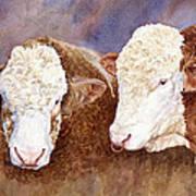 Simmental Bulls Art Print