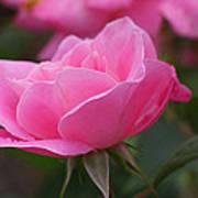 Simplicity Floribunda Rose Art Print