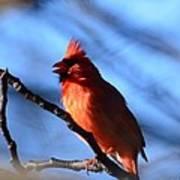 Singing Cardinal Art Print