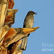 Singing Mockingbird Art Print