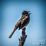 Singing Song Sparrow Art Print