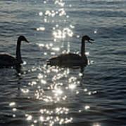 Singing Trumpeter Swans Duet  Art Print