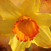 Single Daffodil Art Print