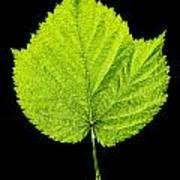 Single Leaf From Raspberry Bush Art Print
