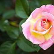 Single Pink Rose Art Print