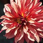 Single Red Bloom Art Print