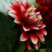Single Red Dahlia Art Print