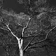 Single Tree With New Spring Leaves In Black And White Art Print