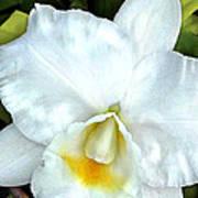 Single White Cattleya Orchid Art Print