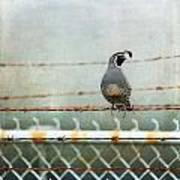 Sittin' On The Fence Art Print