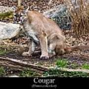 sitting Cougar Art Print