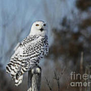 Sitting On The Fence- Snowy Owl Perched Art Print by Inspired Nature Photography Fine Art Photography