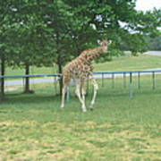 Six Flags Great Adventure - Animal Park - 121243 Art Print