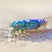 Six-spotted Tiger Beetle - Cicindela Sexguttata Art Print