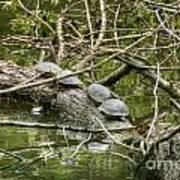 Six Turtle On A Log Art Print