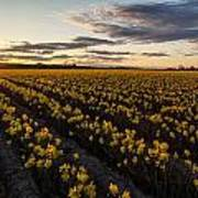 Skagit Daffodils Sunset Sunstar Art Print