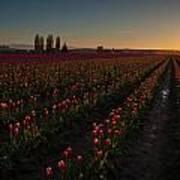 Skagit Dusk Tulip Fields Art Print