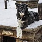 Skeeter The Sled Dog  Art Print