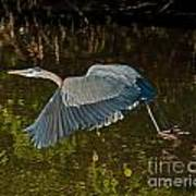 Skimming Great Heron Art Print