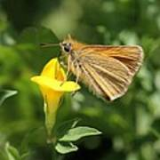 European Skipper On Bird's-foot Trefoil Art Print