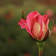 Skc 0422 Blossoming Bud Art Print