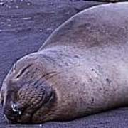 Sleeping Elephant Seal - Isla Guadalupe Mexico Art Print