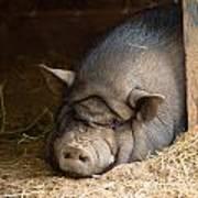 Sleeping Pig Art Print