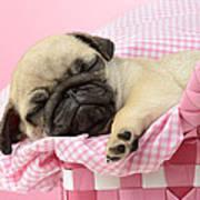 Sleeping Pug In Pink Basket Print by Greg Cuddiford