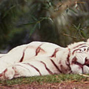 Sleeping White Snow Tiger Art Print