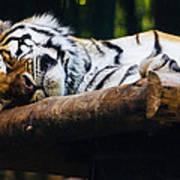 Sleeping Tiger Art Print
