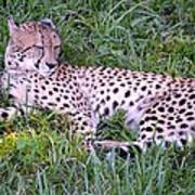 Sleepy Cheetah Art Print
