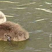 Sleepy Cygnet Art Print