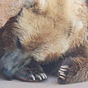 Sleepy Grizzly Bear Art Print