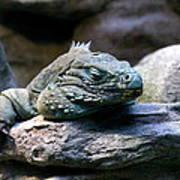 Sleepy Iguana Art Print