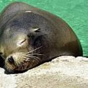 Sleepy Seal Art Print