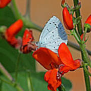 Small Blue Butterfly Art Print