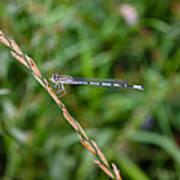 Small Blue Dragonfly Art Print