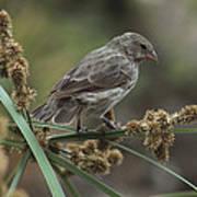 Small Ground-finch Female Feeding Art Print