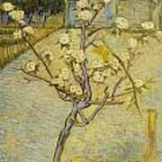 Small Pear Tree In Blossom Art Print