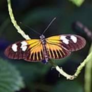 Small Postman Butterfly Art Print