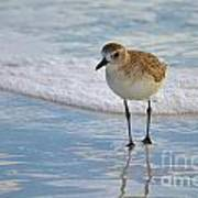 Small Sandpiper Art Print