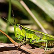 Smaragd-green Grasshopper Art Print