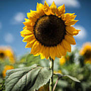 Smile Sunflower Art Print by Jason Bartimus