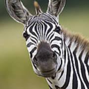 Smiling Burchells Zebra Art Print